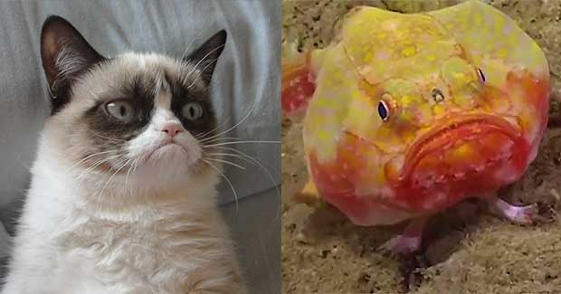 Grumpy Cat S Derpy Fish Cousin Has Legs To Walk The