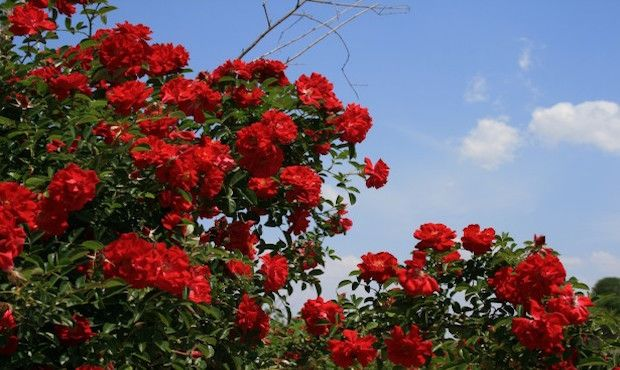 How To Grow A Beautiful And Healthy Rosebush Your Daily Dish