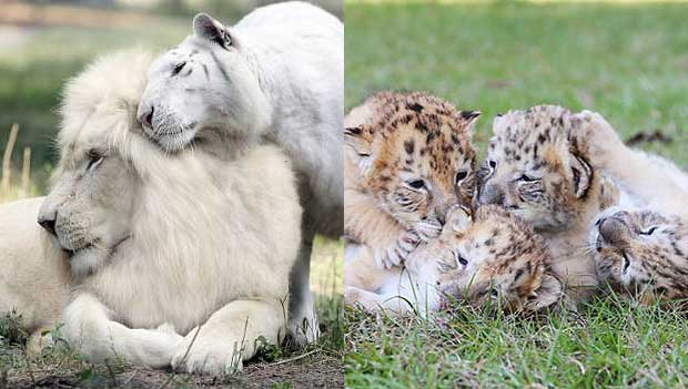 Cat And Lion Breed