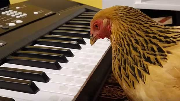 Patriotic Chicken Plays  America the Beautiful  on Keyboard 7b9ddc6e5